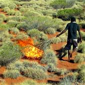 spinifex grass as a way to expose burrows occupied by sand monitor lizards.