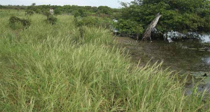 Native Rice growing wild in Northern Australia
