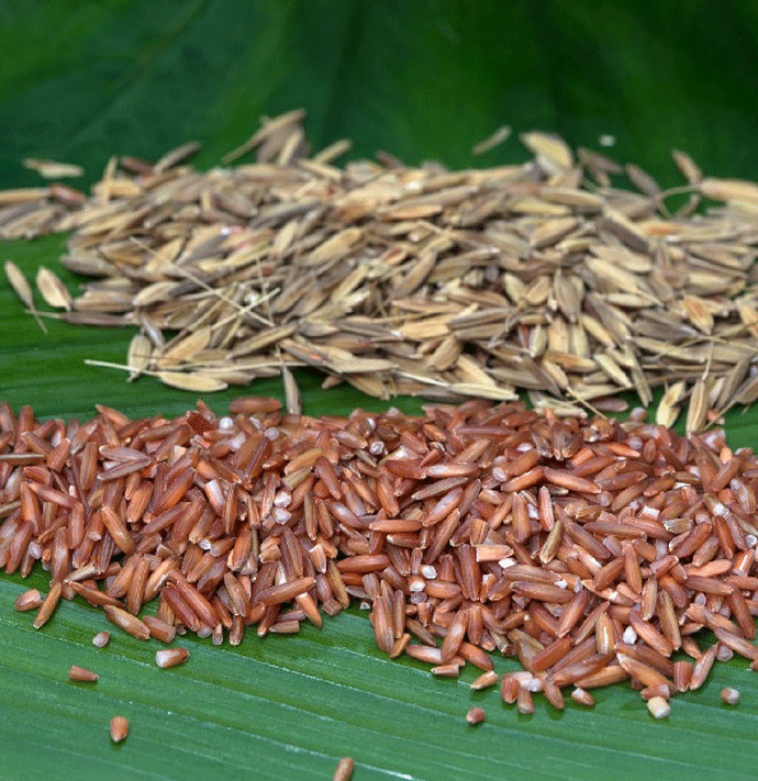 Australian native rices (Oryza rufipogon and O meridionalis)